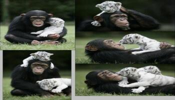 Images - Une belle amitié entre un singe et des bébés tigres albinos