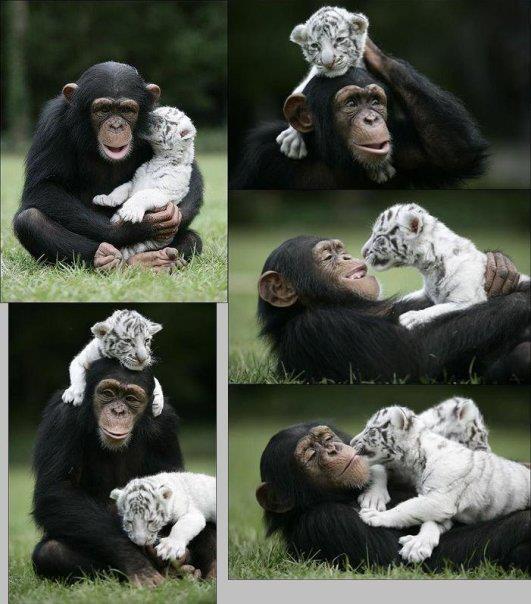 Une belle amitié entre un singe et des bébés tigres albinos