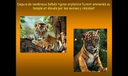 Diaporamas PPS - Le Temple des Tigres