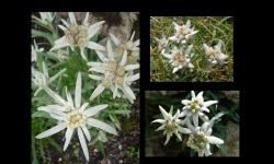 Diaporamas PPS - L'Edelweiss, la fleur d'altitude