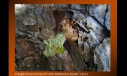 Diaporamas - Naissance d'une cigale