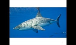 Diaporamas PPS - La beauté des requins