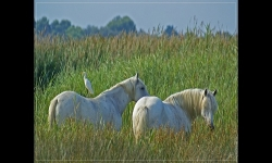 Slideshows - What the Camargue is beautiful!
