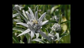 L'Edelweiss, la fleur d'altitude