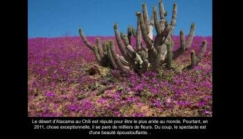 Atacama, le désert des fleurs chiliens