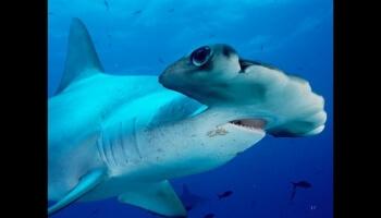 La beauté des requins
